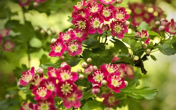 Papéis de Parede florescimento Hawthorn, flores vermelhas, primavera
