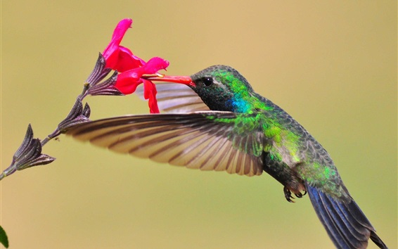 Fondos de pantalla Hummingbird, néctar, flor roja