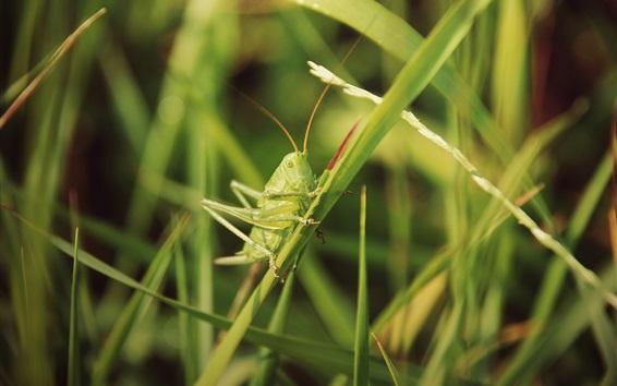 Обои Насекомых, кузнечик, трава