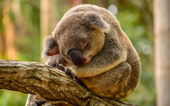Papéis de Parede sono Koala na árvore