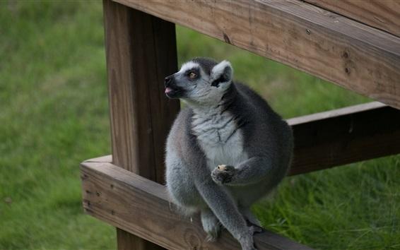 Wallpaper Lemur photography