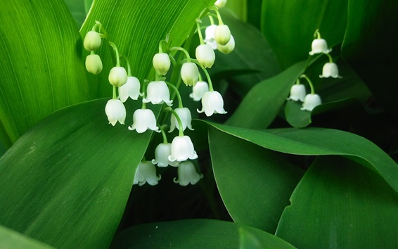 Wallpaper Lily of the valley, white petals, green leaves