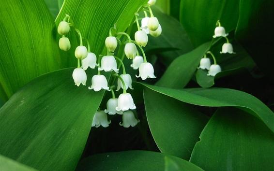 Fond d'écran Lily de la vallée, pétales blancs, des feuilles vertes
