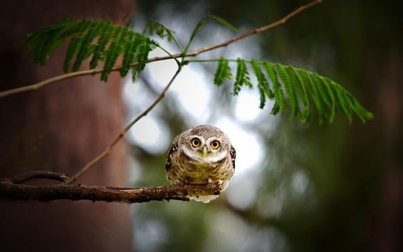 Wallpaper Little owl, twigs, tree, blur background