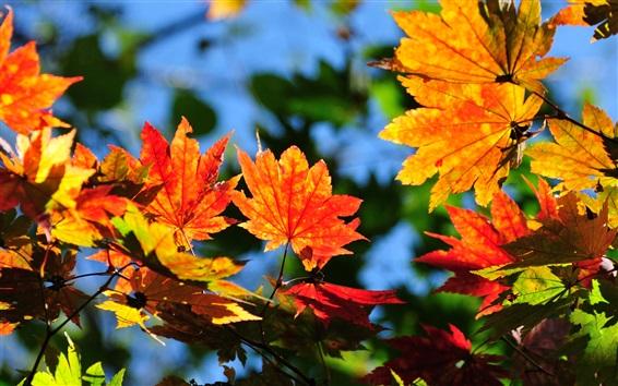 Fond d'écran Feuilles d'érable, rouge et jaune, automne