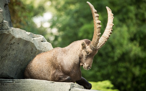 Wallpaper Mountain goat, ibex, claw