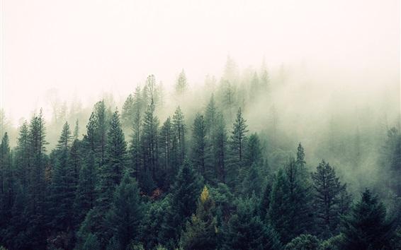 Papéis de Parede Natureza, floresta, árvores, pinheiros, nevoeiro