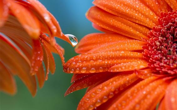 Wallpaper Orange petals, gerbera, flowers close-up, water droplets