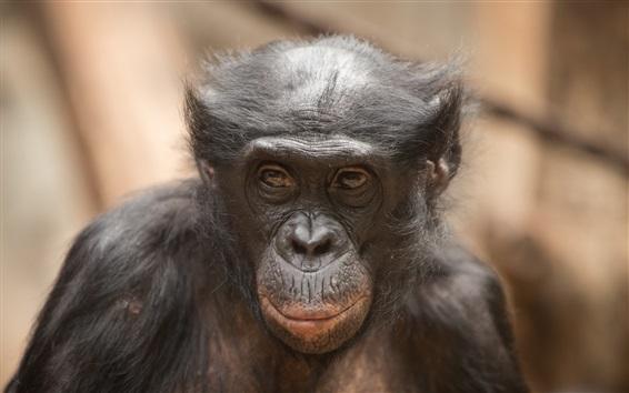 Wallpaper Orangutan, face, animal close-up