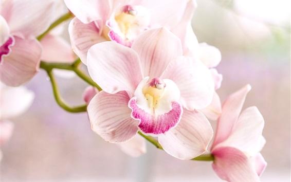 Wallpaper Orchid, pink phalaenopsis
