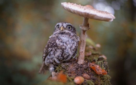 Papéis de Parede Owlet, pássaro, cogumelo, bokeh