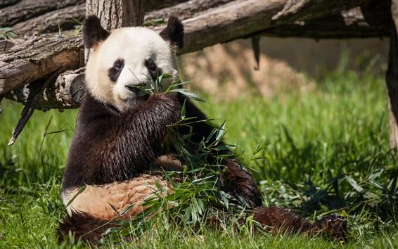 배경 화면 팬더는 대나무를 먹고