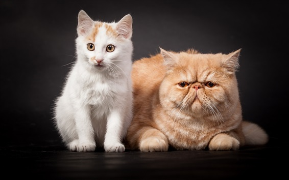 Wallpaper Persian cat and white kitten