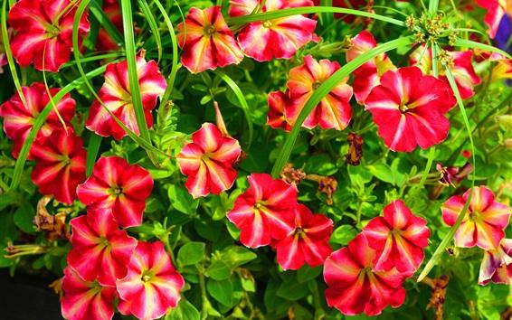 Papéis de Parede Petúnia, flores vermelhas