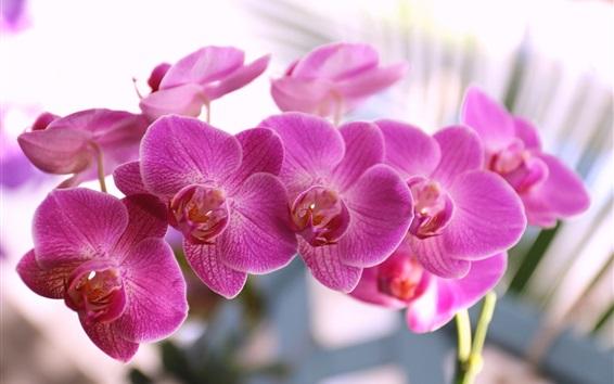 Fondos de pantalla Phalaenopsis, pétalos de rosa, flor