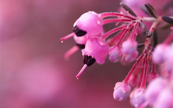 Fond d'écran Fleurs roses fleur, ressort