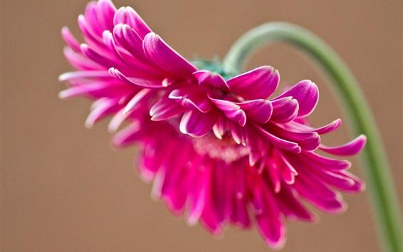 Papéis de Parede gerbera cor de rosa, pétalas
