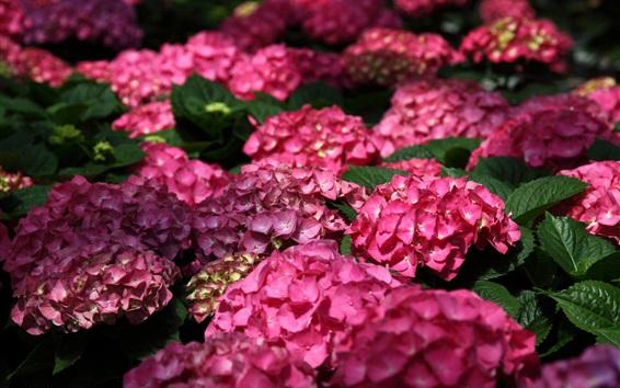 Wallpaper Pink hydrangea flowers