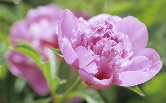 Wallpaper Pink peony flower close-up, dew