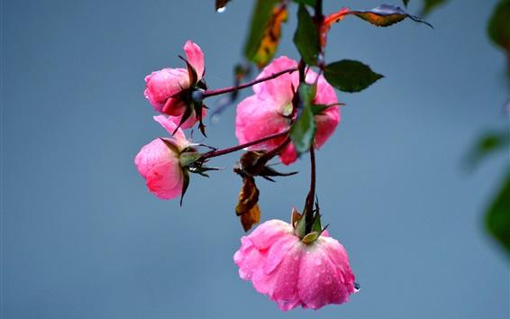 Обои Розовые розы цветы, роса