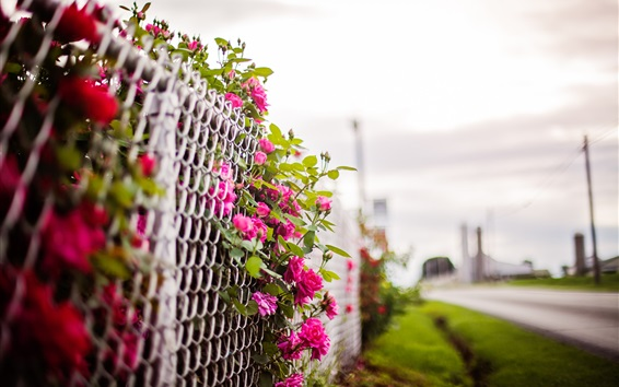Wallpaper Pink rose flowers, fence, blurry background