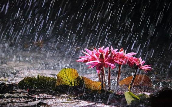 Обои Розовые лилии воды в сильный дождь