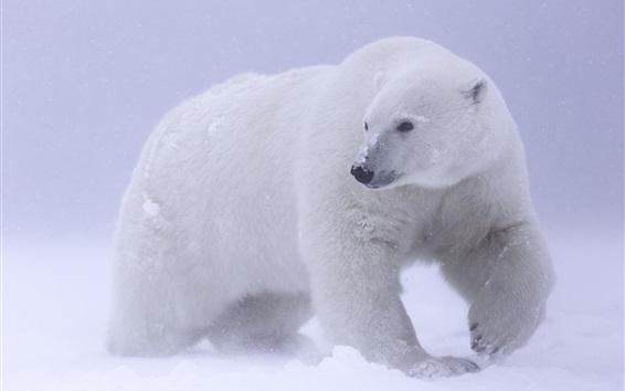 Fond d'écran Ours polaire, neige, froid