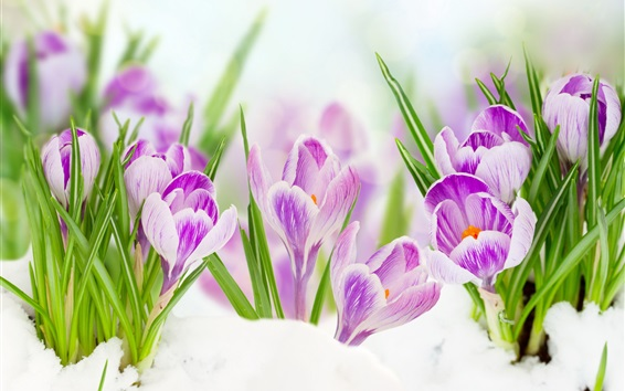 Wallpaper Purple crocuses, green leaves, snow