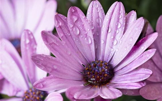 배경 화면 비, 물방울 후 보라색 꽃