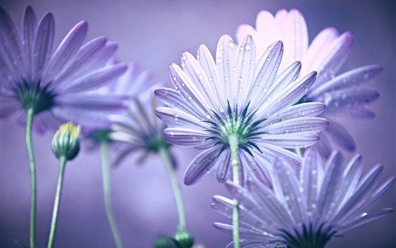 Wallpaper Purple petals flowers, dew
