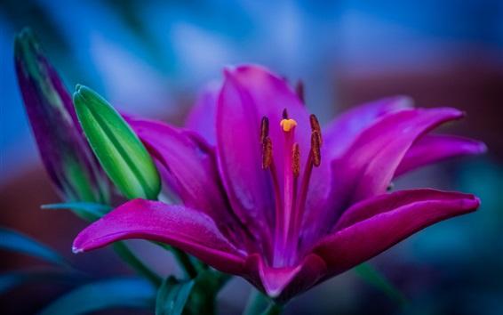 Обои Фиолетовый лепестки лилии, пестик