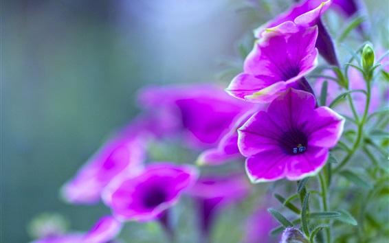 Papéis de Parede petúnia roxo, flores close-up