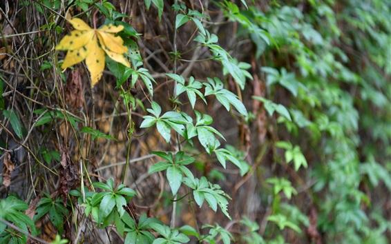 Wallpaper Rattan plants, green leaves