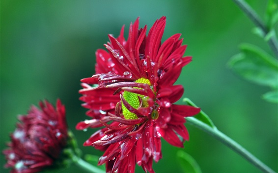 Wallpaper Red chrysanthemum, dew, green background