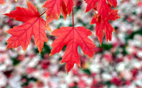 Wallpaper Red maple leaves, autumn, bokeh