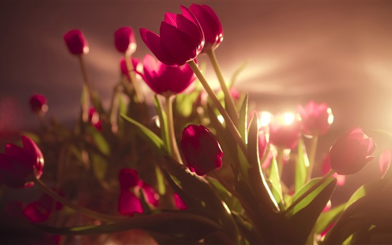 Wallpaper Red tulip flowers, backlit photography