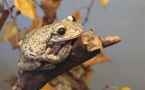 Обои Рептилия, жаба