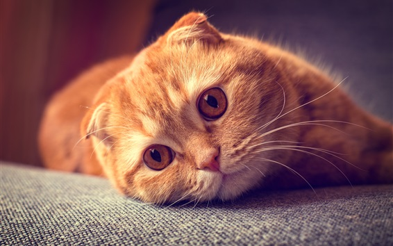 Wallpaper Scottish fold cat, portrait, want to sleep