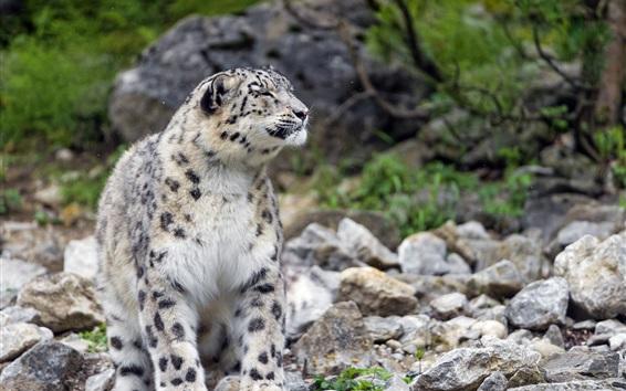 Fond d'écran léopard des neiges, pierres