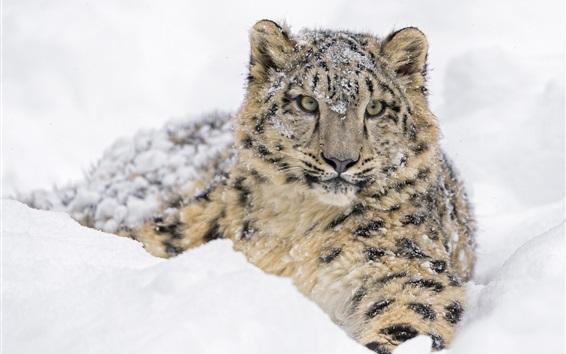 Wallpaper Snow leopard, thick snow winter