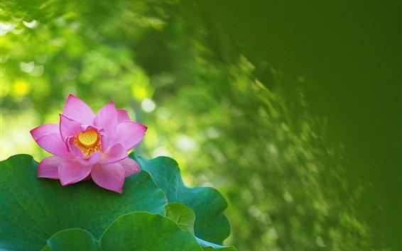 Wallpaper Spring, lotus, pink flower, green leaves