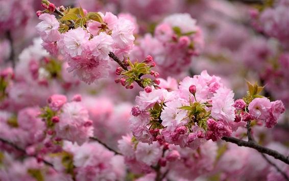 Wallpaper Spring, pink flowers blooms, tree, twigs