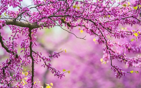 Wallpaper Spring, tree, branches, pink flowers
