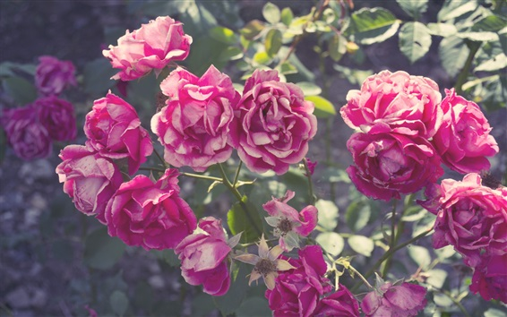 Fondos de pantalla Verano, flores de color rosa rosa