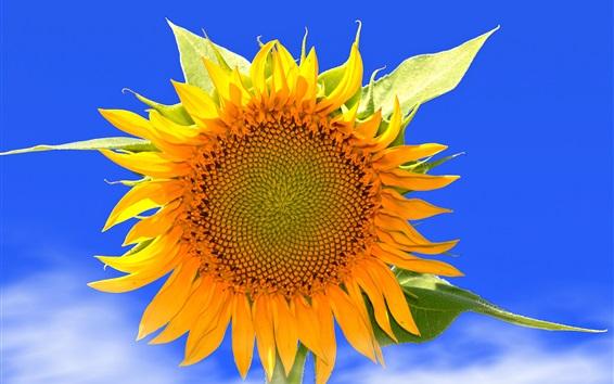 Wallpaper Sunflower macro photography, yellow petals, blue sky