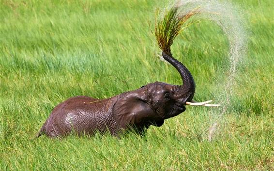 배경 화면 탄자니아, 아프리카, 잔디, 코끼리 샤워