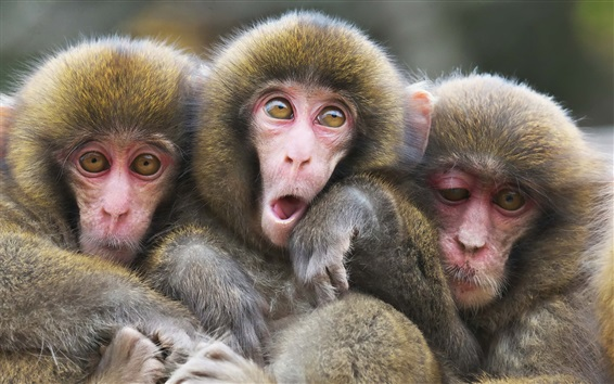 Fond d'écran Trois singes