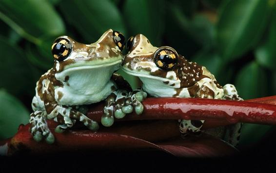 Wallpaper Two frogs, hug