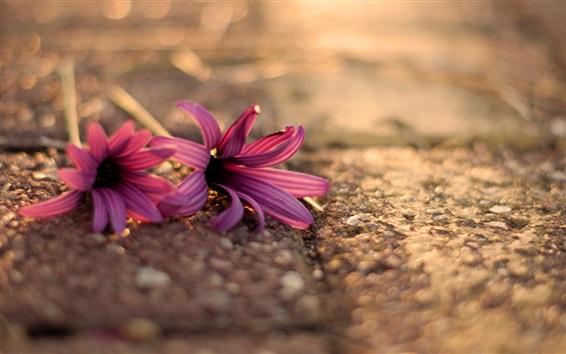 Papéis de Parede Duas flores cor de rosa no chão