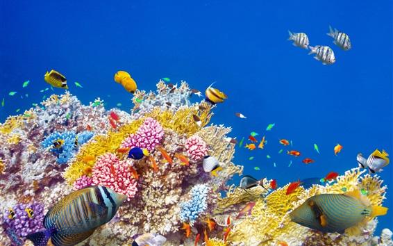 Обои Подводный мир, кораллы, тропические рыбы, красочные